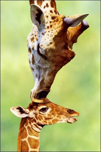 Afbeelding van Een Kus Van Moeder Giraffe Poster 61x91.5cm Dieren Posters